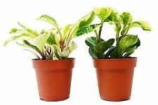 "2 Different Peperomia Plants in 4"" Pots - Baby Rubber Plants - Free Care Guide"