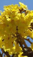 Tabebuia Large Tree * 2++ Feet High * chrysotricha Golden trumpet tree Yellow