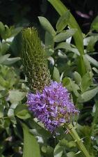 Dalea foliosa | Leafy Prairie Clover | 50_Seeds