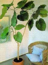 Ficus auri kuriose Männergeschenke Frauengeschenke exclusive Damengeschenke Duft