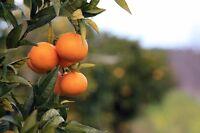 Die Blüten des Mandarinenbaums verströmen einen süßen Duft; leckere Früchte !