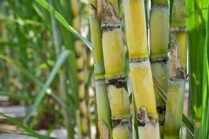 US FARM 150 Seeds Organic Mennonite SUGAR DRIP SORGHUM,SUGAR CANE Heirloom Hone