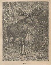A1011 Alce - Stampa Antica del 1911 - Xilografia