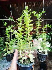 1 Pot Hoya Cumingiana Orchid With Cites & Phyto HousePlants Home & Garden Yard