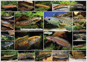 AQUALOG - Fold Poster SNAKEHEAD FISH - Genus Channa