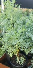 Ruda Plant Common Rue Ruta graveolens Herb of Grace 5 to 7 inches tall Listed fo