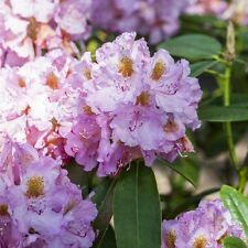 Rhododendron INKARHO ® lila Dufthecke 5 L Topf gewachsen ca. 40-50cm
