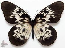 Idea tambusisiana ssp.hideoi -LARGE !, UNMOUNTED butterfly