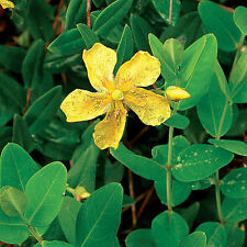 1 gram Saint John's Wort seeds, Hypericum perforatum, hundreds of seeds