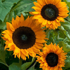 Sunflower - Copper Queen - 25 Seeds