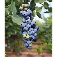 "Blueberry ""Misty"" High Bush live plant vaccinium"