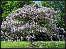 40 graines d'  ARBRE IMPERIAL(Paulownia Tomentosa)G92 EMPRESS TREE SEEDS SEMILLA