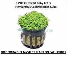 Dwarf Baby Tears Pot Hemianthus Callitrichoides Cuba Carpet Live Aquarium Plants