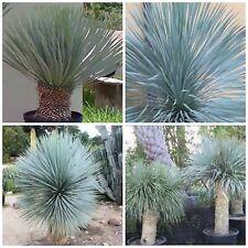 10 semi di yucca rostrata, piante succulente, piante grasse,seed succulents