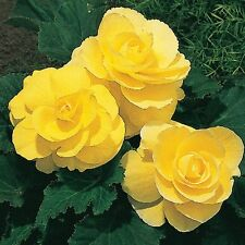 30+ GORGEOUS DOUBLE YELLOW BEGONIA  FLOWER SEEDS    ANNUAL FOR INDOORS OR GARDEN