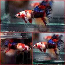 New ListingLive Betta Fish Fancy Multi Color Koi Halfmoon Hm Female #A402