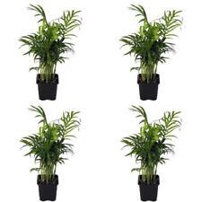 "4 Victorian Parlor Palm Plant Chamaedorea Indestructable 3""Pot Best Gift ind/out"