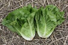 LETTUCE SEEDS (GREEN COS) 250+ SEEDS