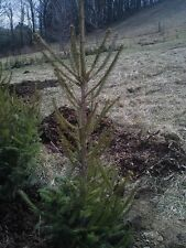 "FAST GROWING NORWAY SPRUCE TREES 37""-40"" Fresh dug 5 or 6 year Transplant"