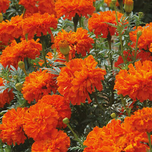 French Marigold Petite Flower Seeds FREE SHIPPING