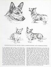 Welsh Corgi Sketch - 1963 Vintage Dog Print - Matted