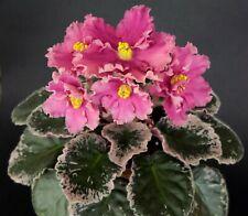 Aftershock Blatt/ leaf African Violet Usambaraveilchen