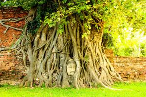 80+ Medicinal Ficus Religiosa Seeds: Budha Peepal, Sacred Fig, A Meditation Tree
