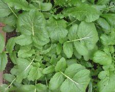 Frühlings-Barbarakraut Kresse Upland 500 Samen Barbarea verna