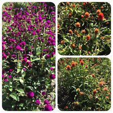 Kugelamarant Gomphrena globosa Teepflanze alte Heilpflanze TCM Bienenweide