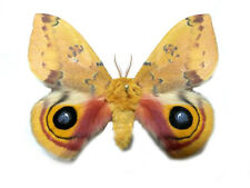 Taxidermy - real papered insects : Saturnidae : Automeris io lilith