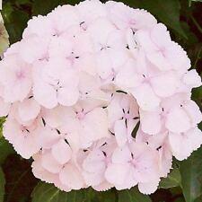 Hydrangea macrophylla Marie Claire (Established Plant) - 67mm x 150mm Pot