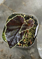 Begonia darthvaderiana (bouture racinée)