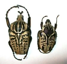 Goliathus albosignatus PAIR 45-60+mm PICK SIZE Taxidermy REAL Insect Beetle
