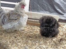 8 sizzle/silkie chicken eggs for incubation/hatching