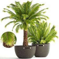 Dwarf Date  Palm ( Phoenix roebelenii) 20 Seeds