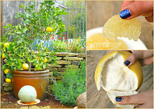"SEEDS – Dwarf White Flesh Sweet Grapefruit ""Oro Blanco"" Great in Containers!"