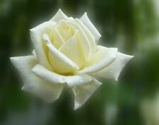 White Rose Flower Bush Seeds Here For You!