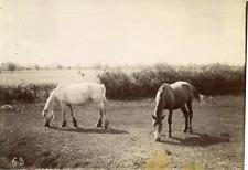 Chevaux, nature, campagne, étude pour peintre  Vintage albumen print,  Tirage