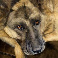 German Shepherd Pet Portrait PRINT from my own Original Watercolour Painting