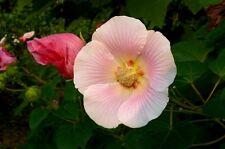 hibiscus mutablilis -- rose of sharon 20 seeds