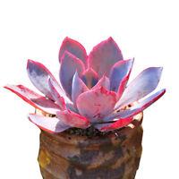 Succulent Live Plants - Echeveria Afterglow 10cm - Home Garden Beautiful Plants