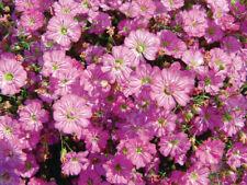 5 x Gypsophila Gypsy 'Deep Rose' Jumbo Plug Plants Cut Flowers