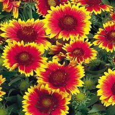 Gaillardia Single Flower Mix Seed Perennial Flowers 5 Months Good Vase Life