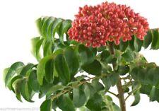 Currybaum Murraya koenigii 5 Samen selten