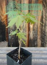 Sugar Maple tree - Acer Saccharum - Dormant - Hardwood Maple - 6 to 10 inches