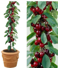 Cherry Tree Sunburst Prunus Avium Fruit Plant Dessert Cordon 8L Pot Colt