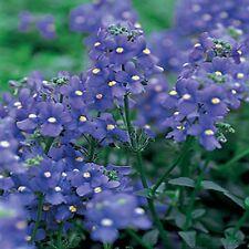 Nemesia- blue Gem- 100 Seeds - 50 % off sale