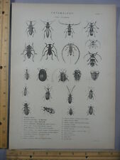 Rare Antique Orig VTG Various Insect Entomology Coleoptera Chart Engraving Print