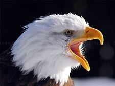 American Calvo eagle bird Close Up Foto art print poster foto bmp160a