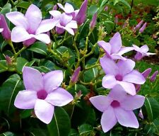 Cryptostegia grandiflora, rare rubber vine purple allamanda flower seed 50 seeds